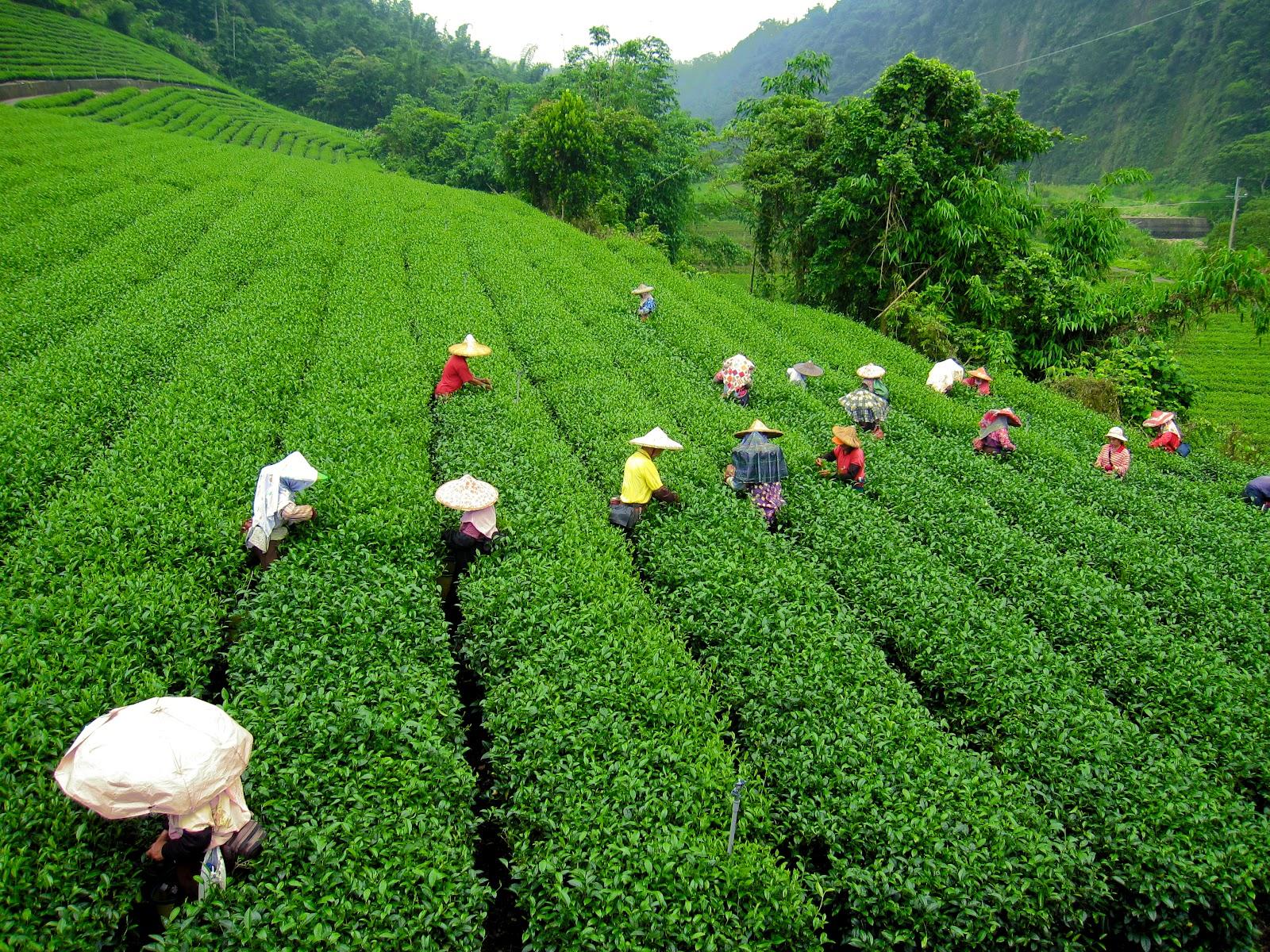darjeeling tea statistics